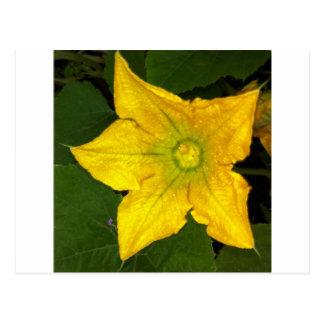 Squash Blossom Postcard