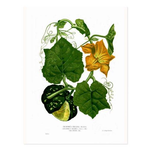 Squash (Cucurbita maxima) Post Cards