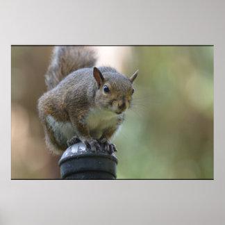 Squirrel Balancing Posters