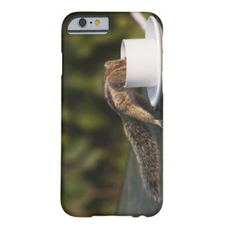 Squirrel drinking from coffee cup at Indian Barely There iPhone 6 Case