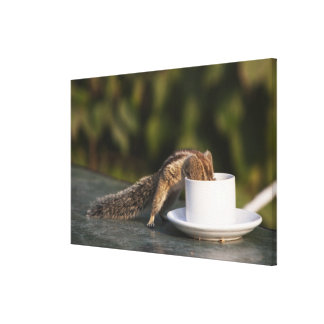 Squirrel drinking from coffee cup at Indian Canvas Print