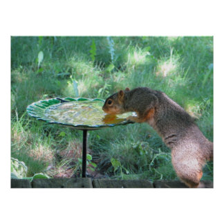Squirrel drinking water poster