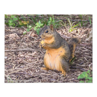 Squirrel eating a chip photographic print