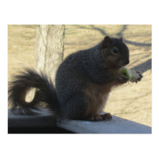 Squirrel Eating An Apple Postcard