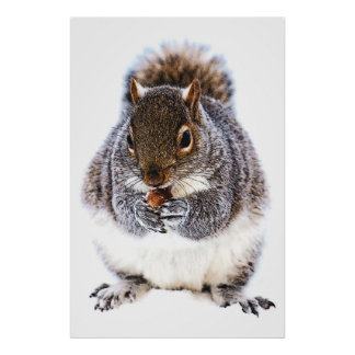 Squirrel Eating Nut Poster