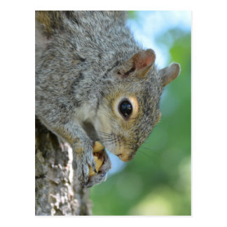 Squirrel Hanging in A Tree Postcard
