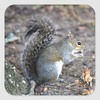 Squirrel Munching on an Acorn Square Sticker