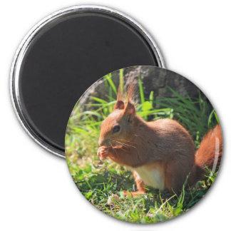 Squirrel red beautiful photo fridge magnet