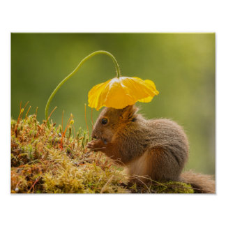 squirrel with above a yellow poppy flower poster