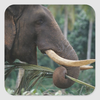 Sri Lanka, Elephant feeds at Pinnewala Elephant 2 Square Sticker