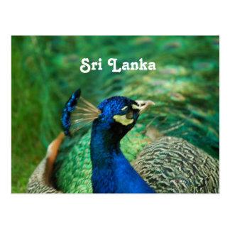 Sri Lanka Peafowl Postcard
