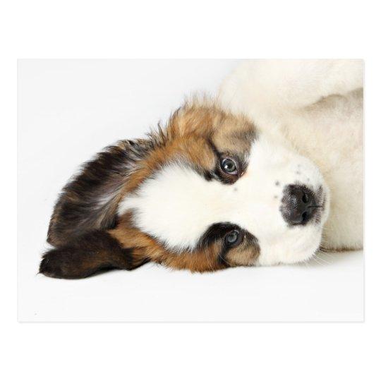St. Bernard Puppy Postcard