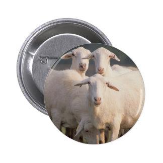 St. Croix sheep 6 Cm Round Badge