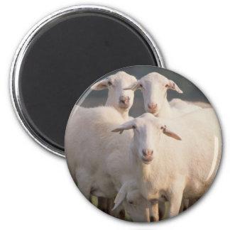 St. Croix sheep 6 Cm Round Magnet