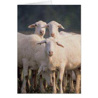 St. Croix sheep Greeting Card