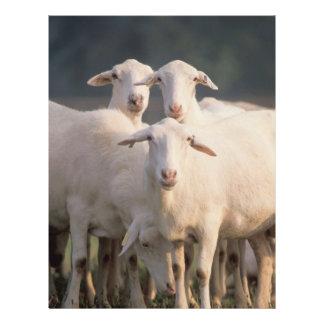 St. Croix sheep 21.5 Cm X 28 Cm Flyer