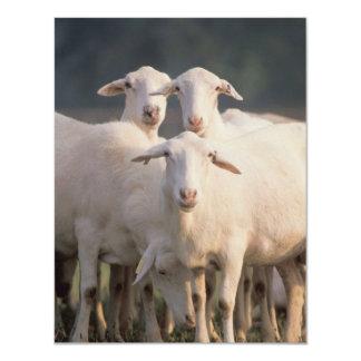 St. Croix sheep 11 Cm X 14 Cm Invitation Card