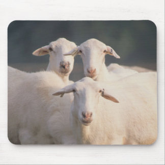 St. Croix sheep Mouse Pad