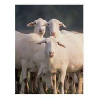St. Croix sheep Postcard