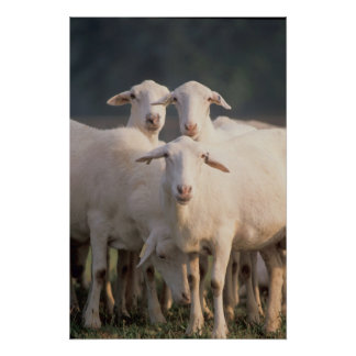 St. Croix sheep Poster