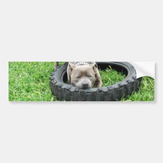 Staffordshire Bull Terrier, Chomp, Bumper Sticker. Bumper Sticker