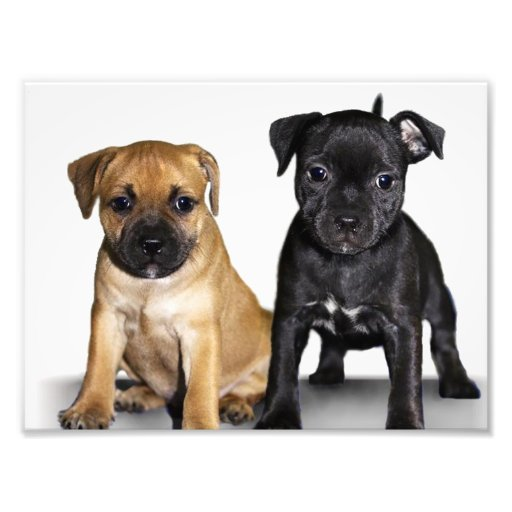 Staffordshire bull terrier puppies photographic print