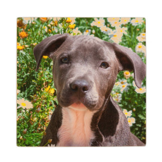 Staffordshire Bull Terrier puppy portrait Wood Coaster