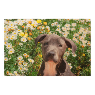 Staffordshire Bull Terrier puppy portrait Wood Print