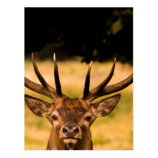 stag of richmond park postcard