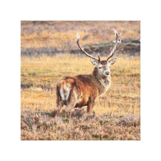 Stag on the Moors Canvas Print