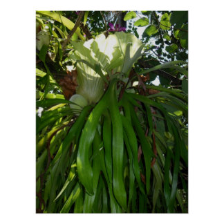 Staghorn Fern Poster