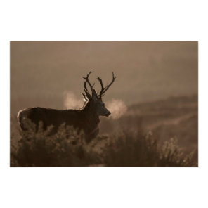 Stags Poster/Print Poster
