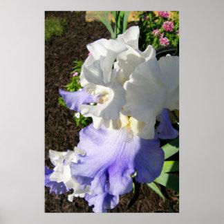 Stairway to Heaven Blue/White Iris Poster Print