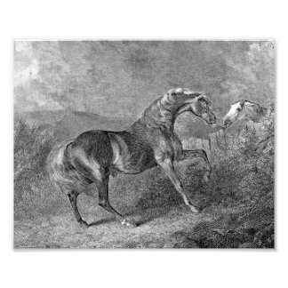 Stallion Horse Vintage Illustration Photo Print