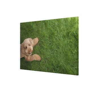 standard poodle 2 canvas print