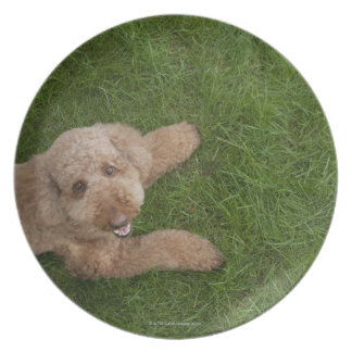 standard poodle 2 plate