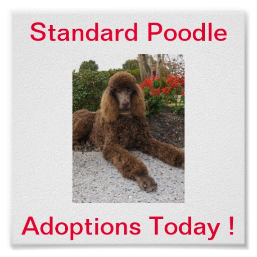 Standard Poodle Dog Adoptions Today Sign Posters