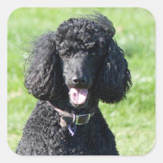 Standard Poodle dog black beautiful photo portrait Square Sticker