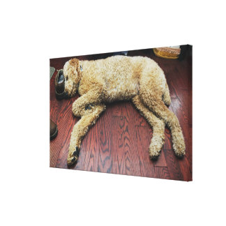Standard Poodle Sleeping on Floor Canvas Print
