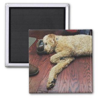Standard Poodle Sleeping on Floor Magnet