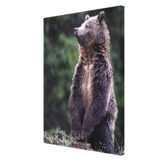 Standing Grizzly Bear Canvas Print