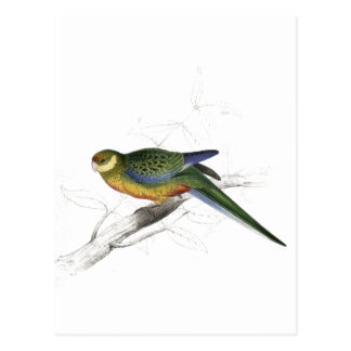 Stanley Parrakeet (young male) by Edward Lear Postcard