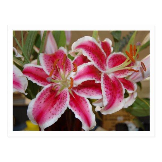 Star Gazer Lily Postcard