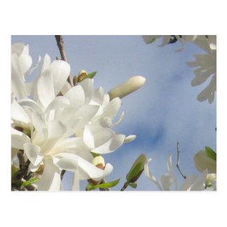 Star Magnolia Postcard