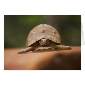 Star tortoise, Perinet Reserve, Madagascar Card