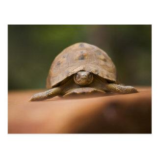 Star tortoise, Perinet Reserve, Madagascar Postcard