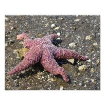 Starfish Eating that Clam! Photo Print