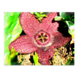 Starfish Flower - Purple Cactus/Succulent Flower Postcards