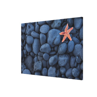 Starfish On Black Rocks Along The Coast | Iceland Canvas Print