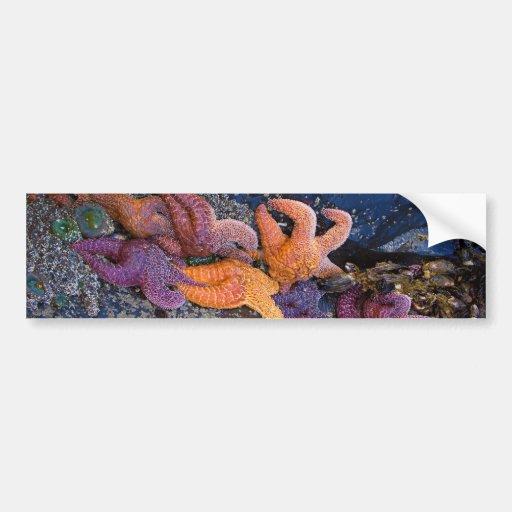 Starfish Pisaster Ochraceus & Ochre Sea Star Bumper Sticker